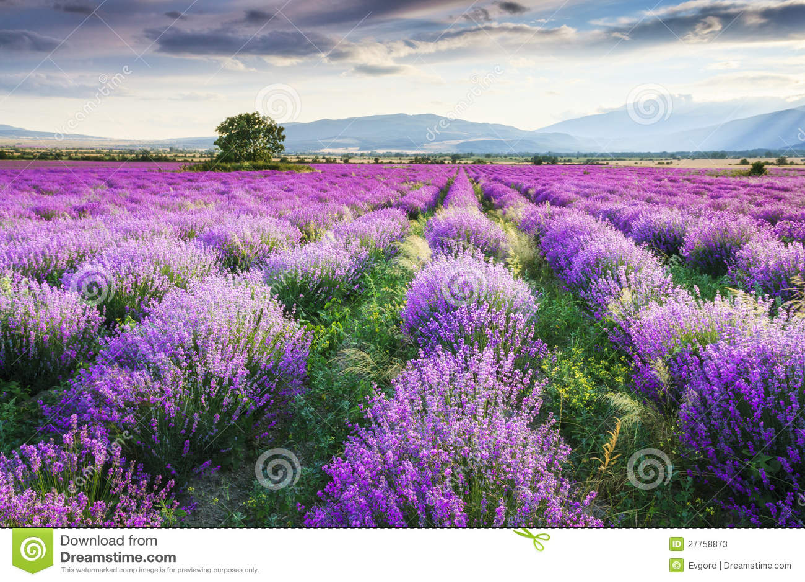 Lavendel-Garten
