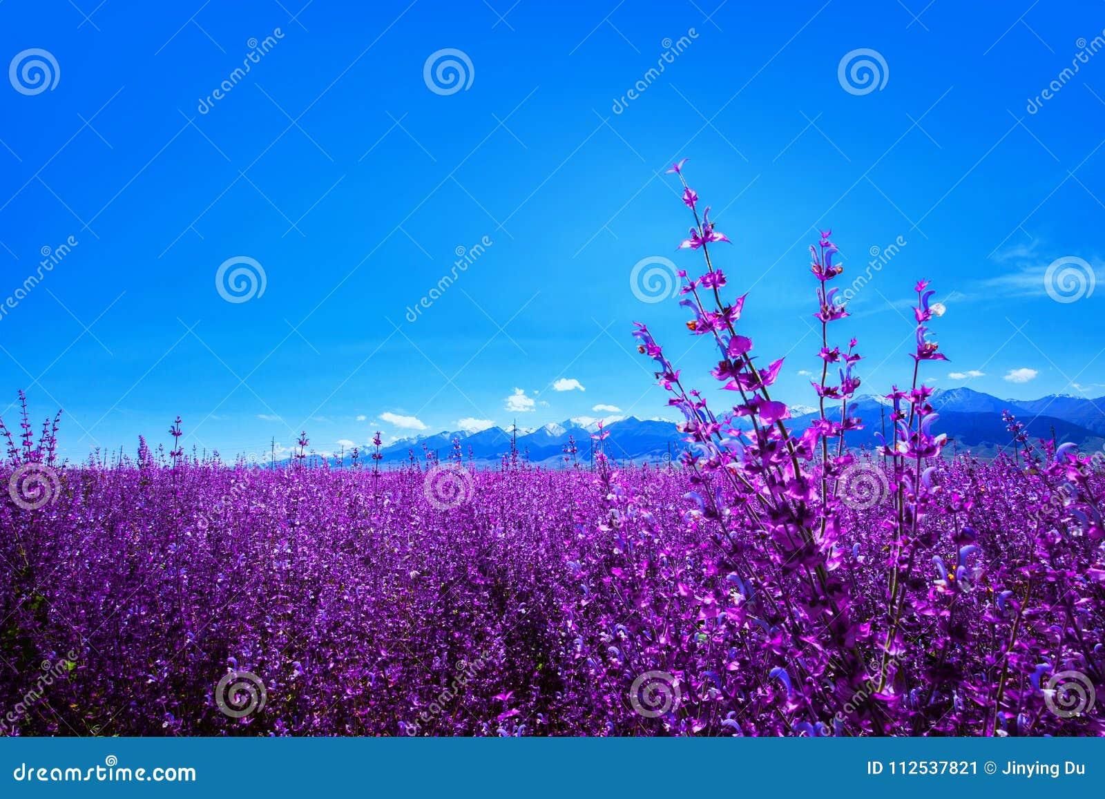 Lavendel gepflanzt am Fuß von Tianshan-Berg China