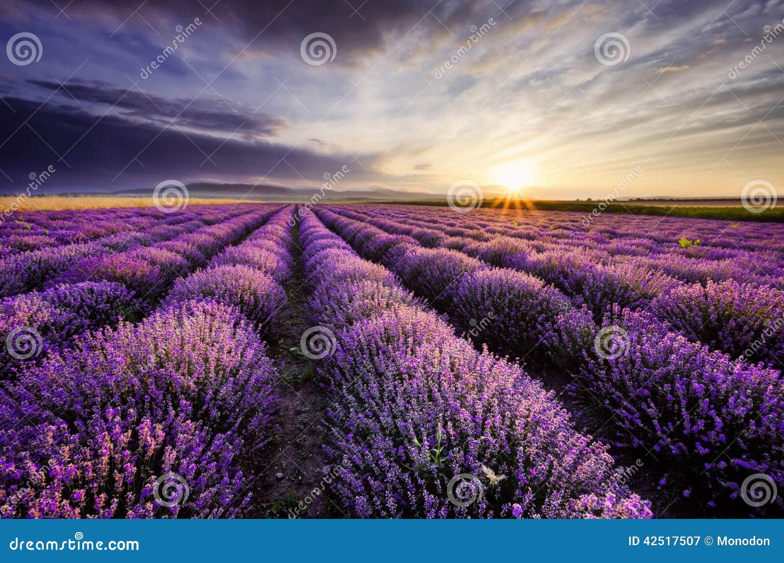 Lavendel-Sonnenaufgang