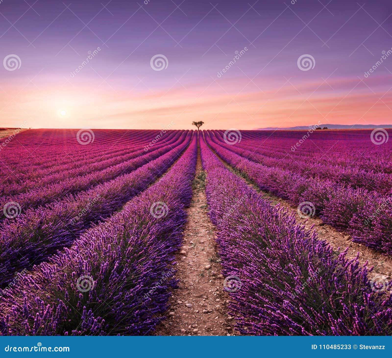 Lavendel und einsame Bäume aufwärts auf Sonnenuntergang Provence, Frankreich