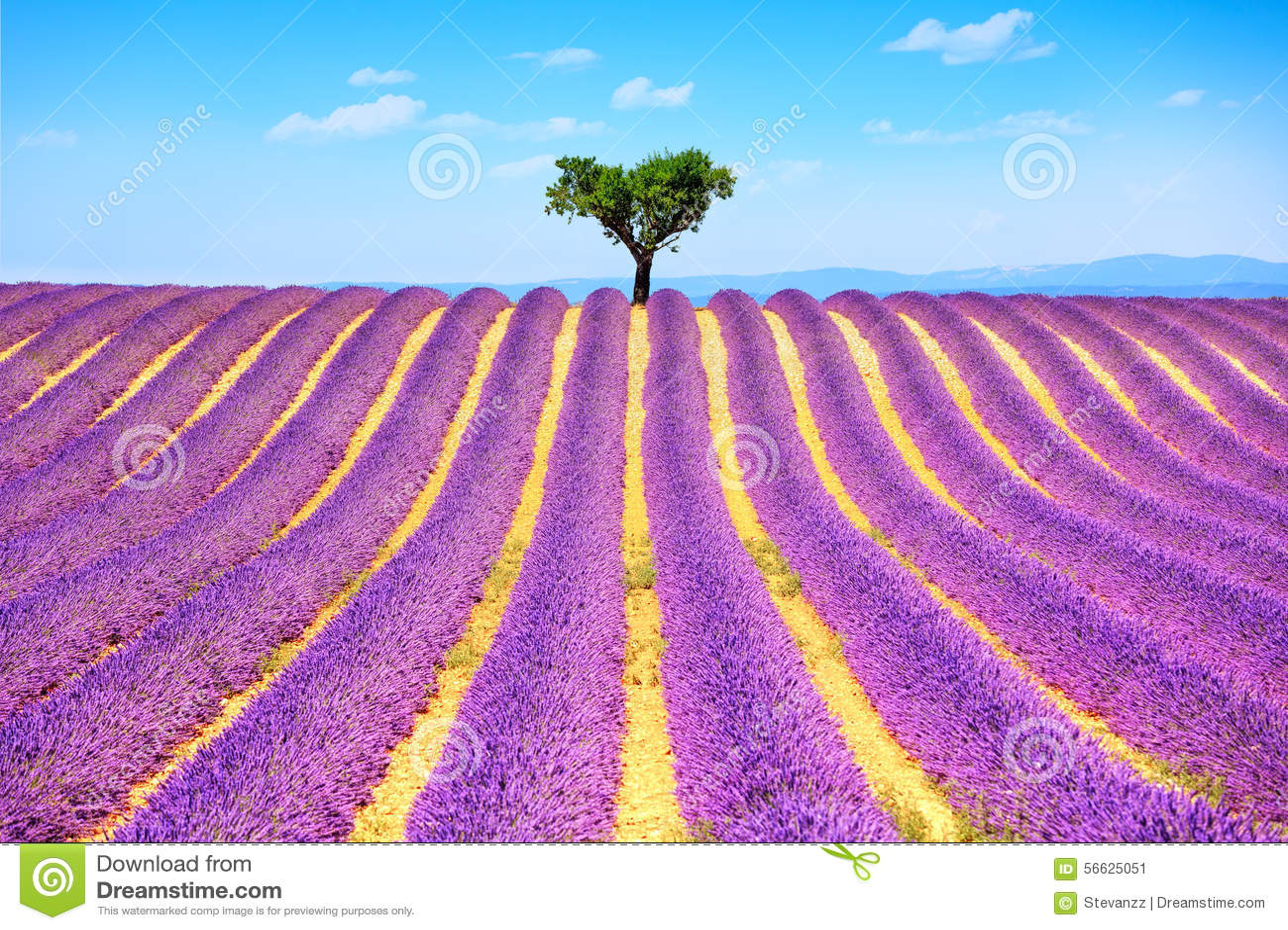 Lavendel und einsamer Baum ansteigend Provence, Frankreich