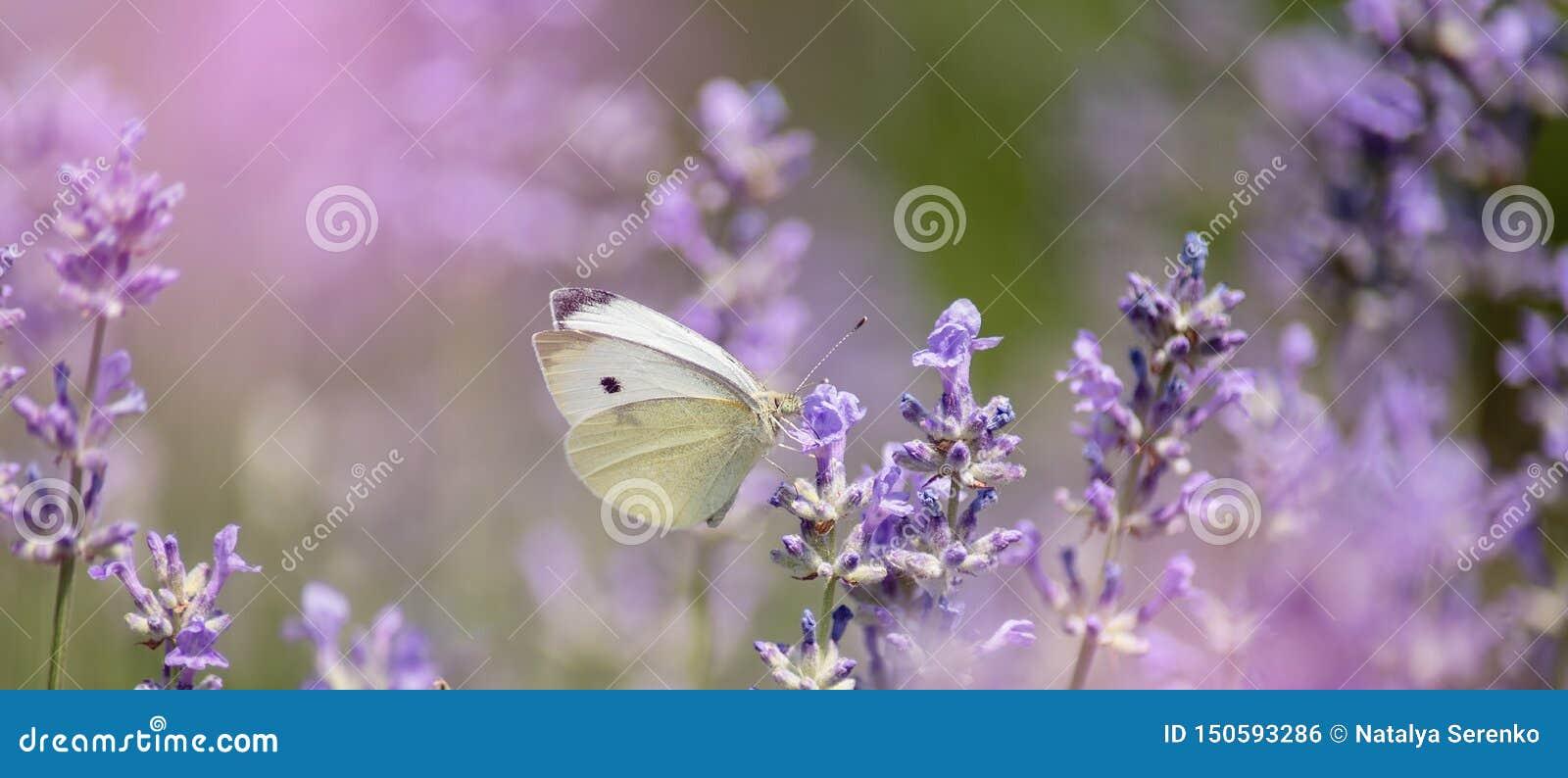 Lavendelbloemen op gebied Bestuiving met vlinder en lavendel met zonneschijn, zonnige lavendel Zachte nadruk, vage achtergrond