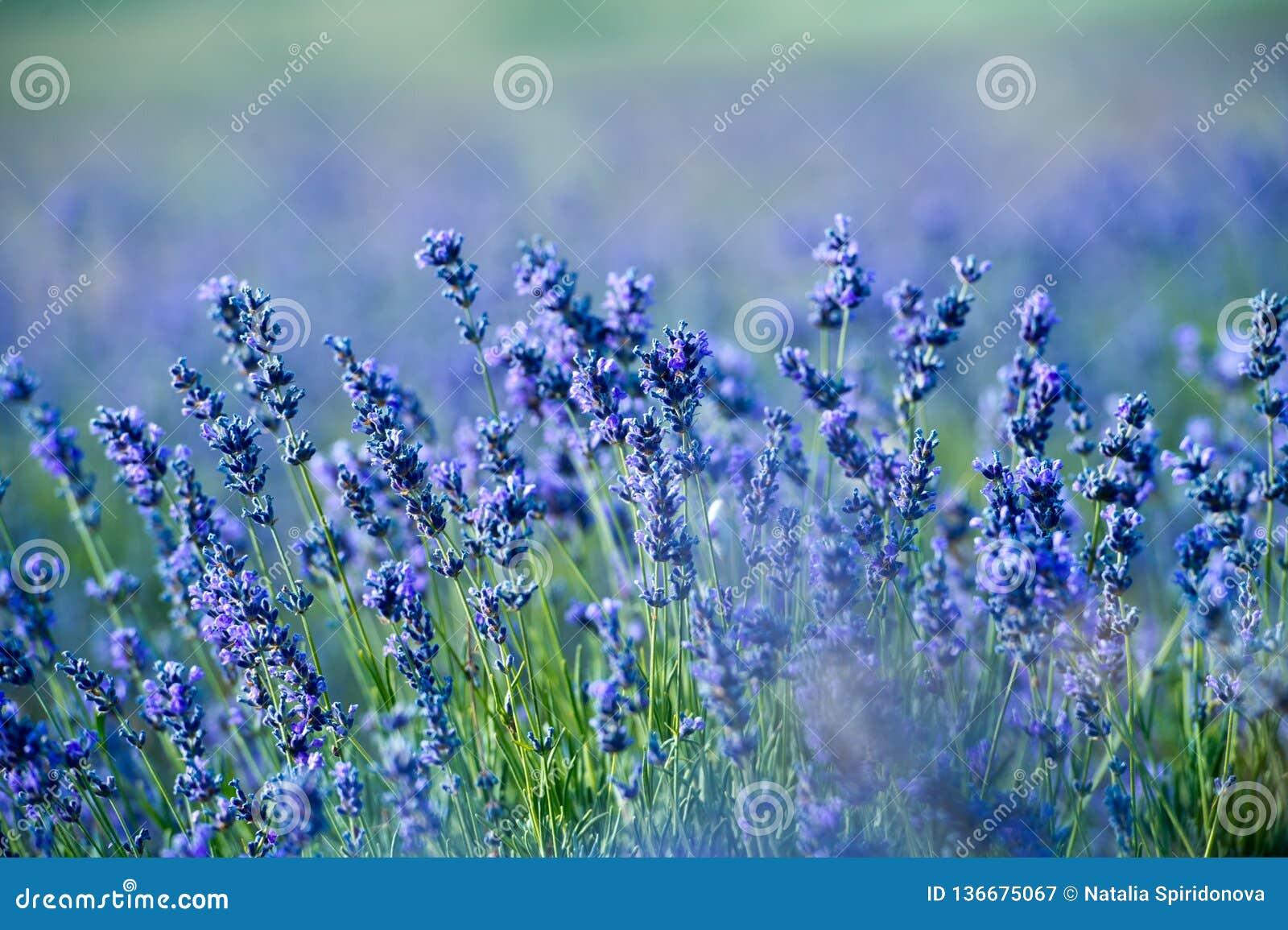 Lavendelbloemen - Zonsondergang over een gebied van de de zomer purper lavendel