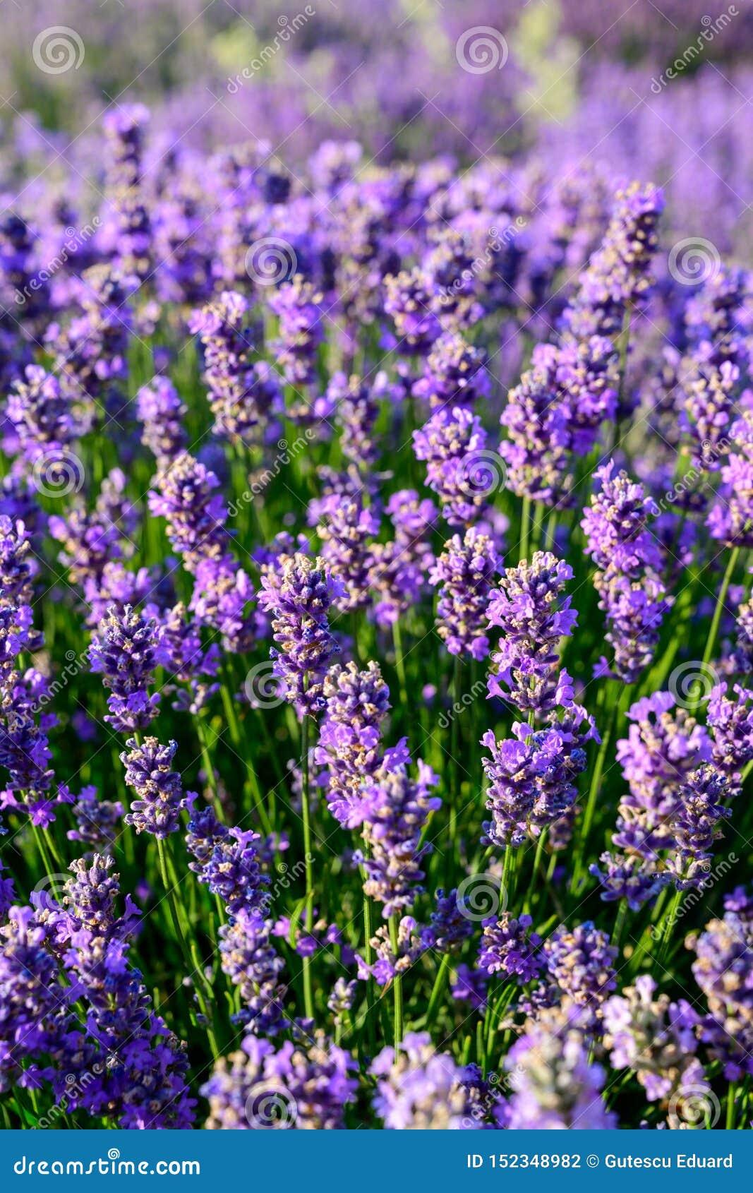 Lavendelblumenfeldabschluß herauf Detail in der Sommerzeit