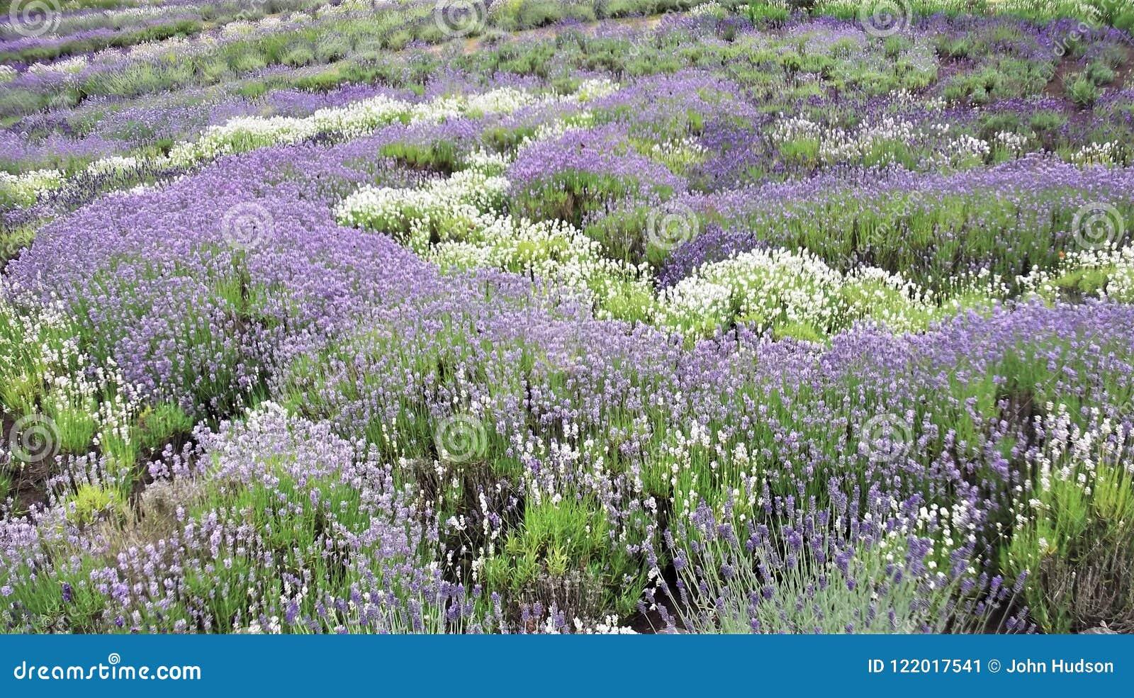 Lavendelbuskar i ymnighet i mitt- sommar