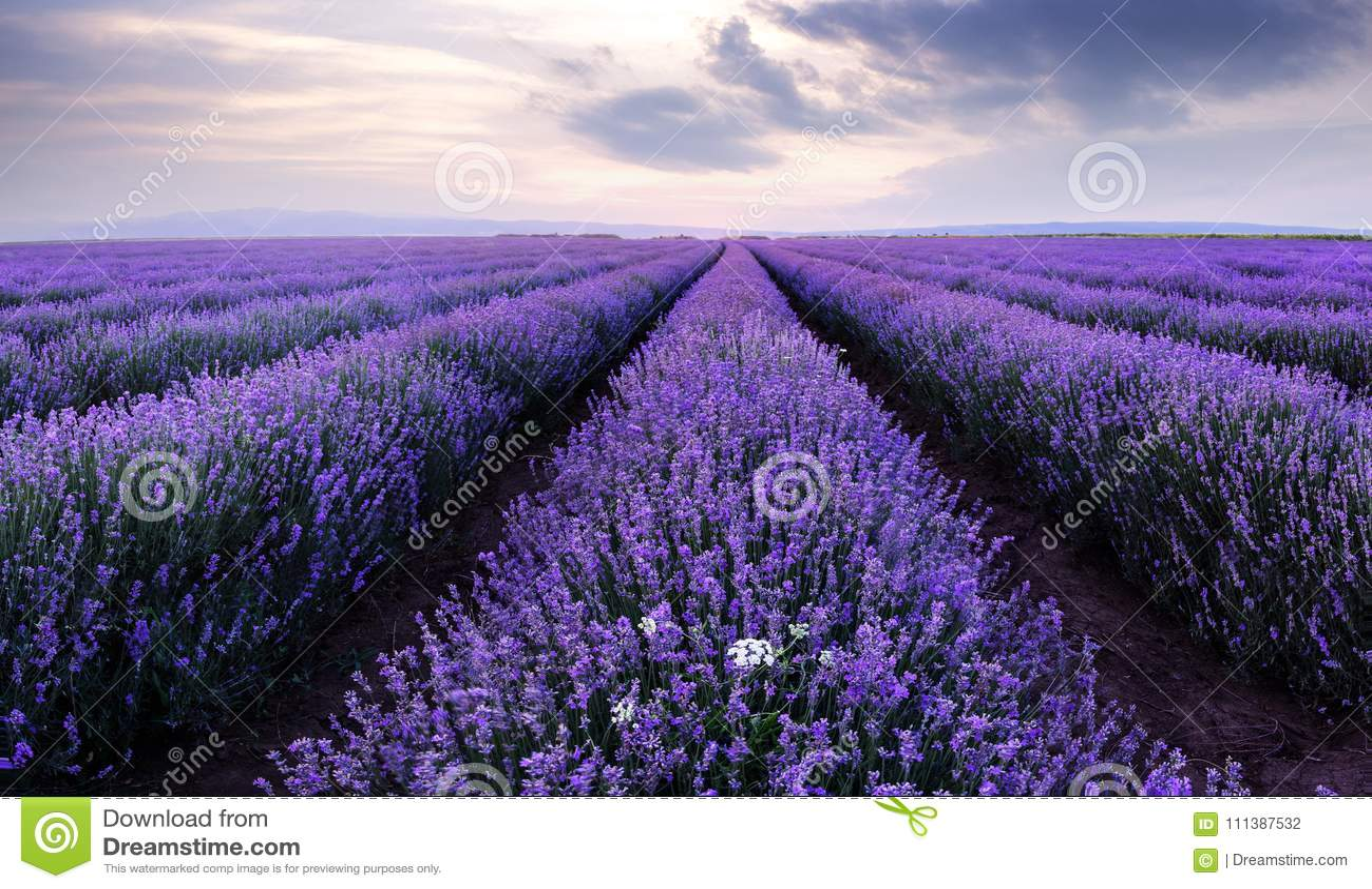 Lavendelfält Härligt avbilda av lavendel sätter in