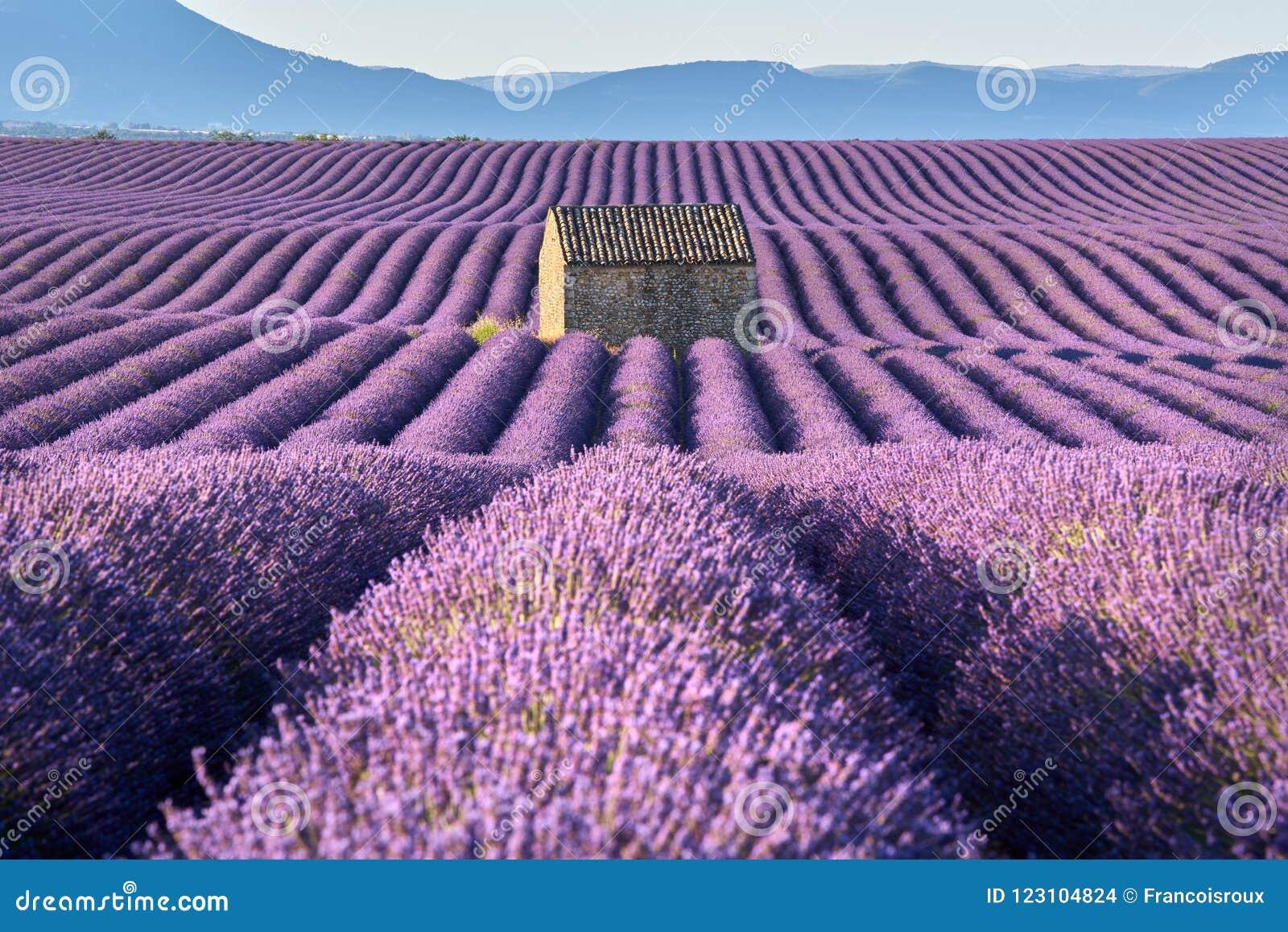 Lavendelfält i Valensole med stenhuset i sommar Alpes-de-Haute-Provence Frankrike
