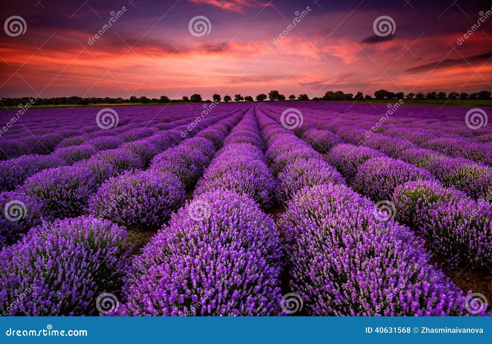 Lavendelfält på solnedgången