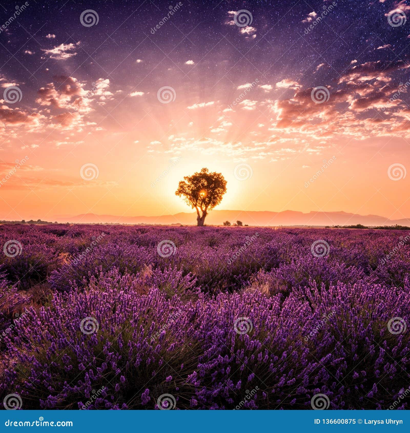 Lavendelfält som förbluffar landskap, soluppgångglöd, naturlig sommarloppbakgrund, Provence, Frankrike