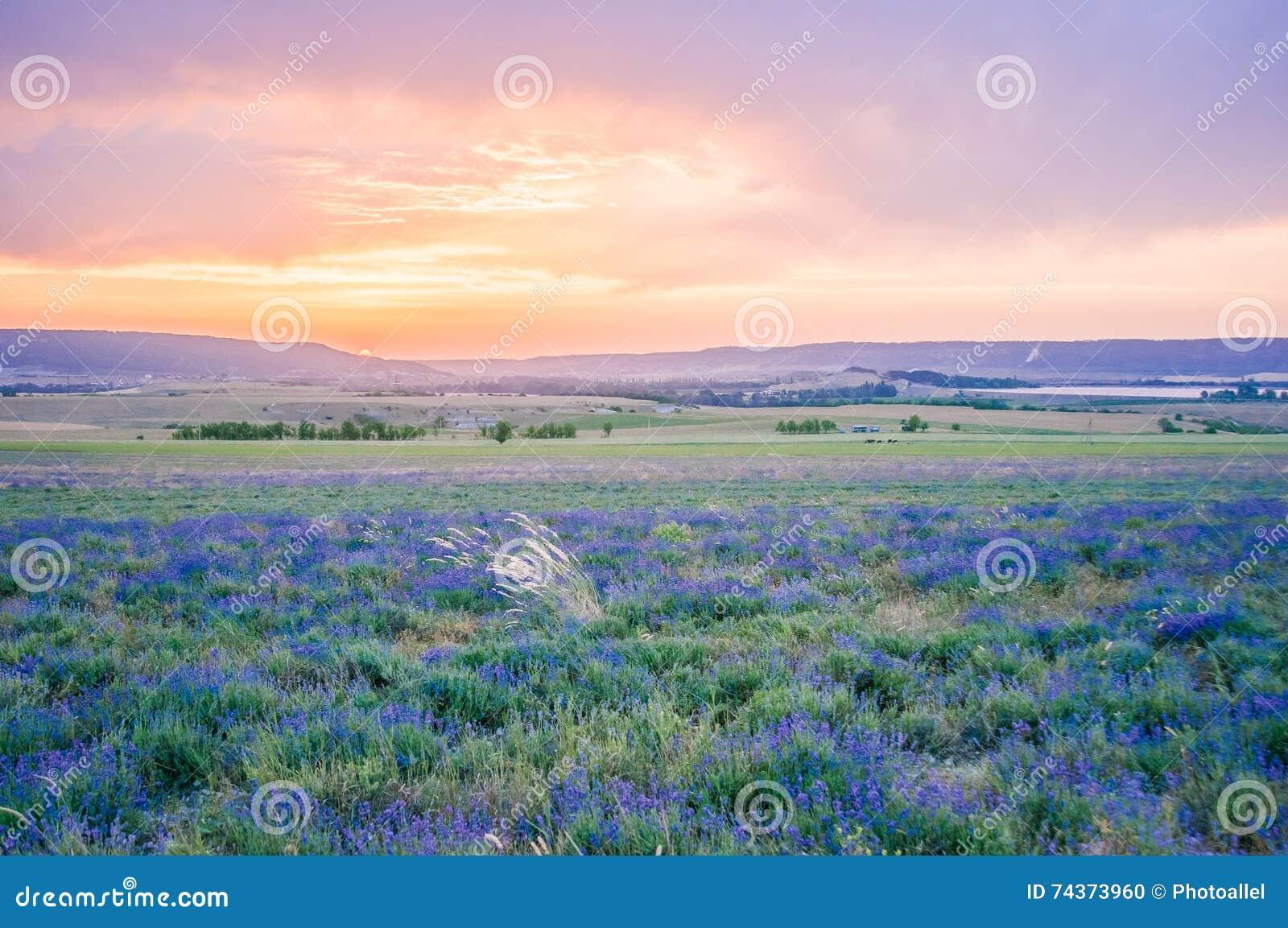Lavendelfeld am Sommer