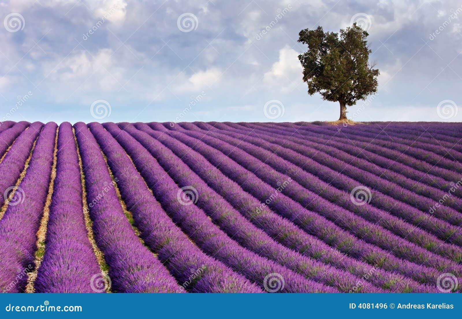 Lavendelfeld und ein einsamer Baum
