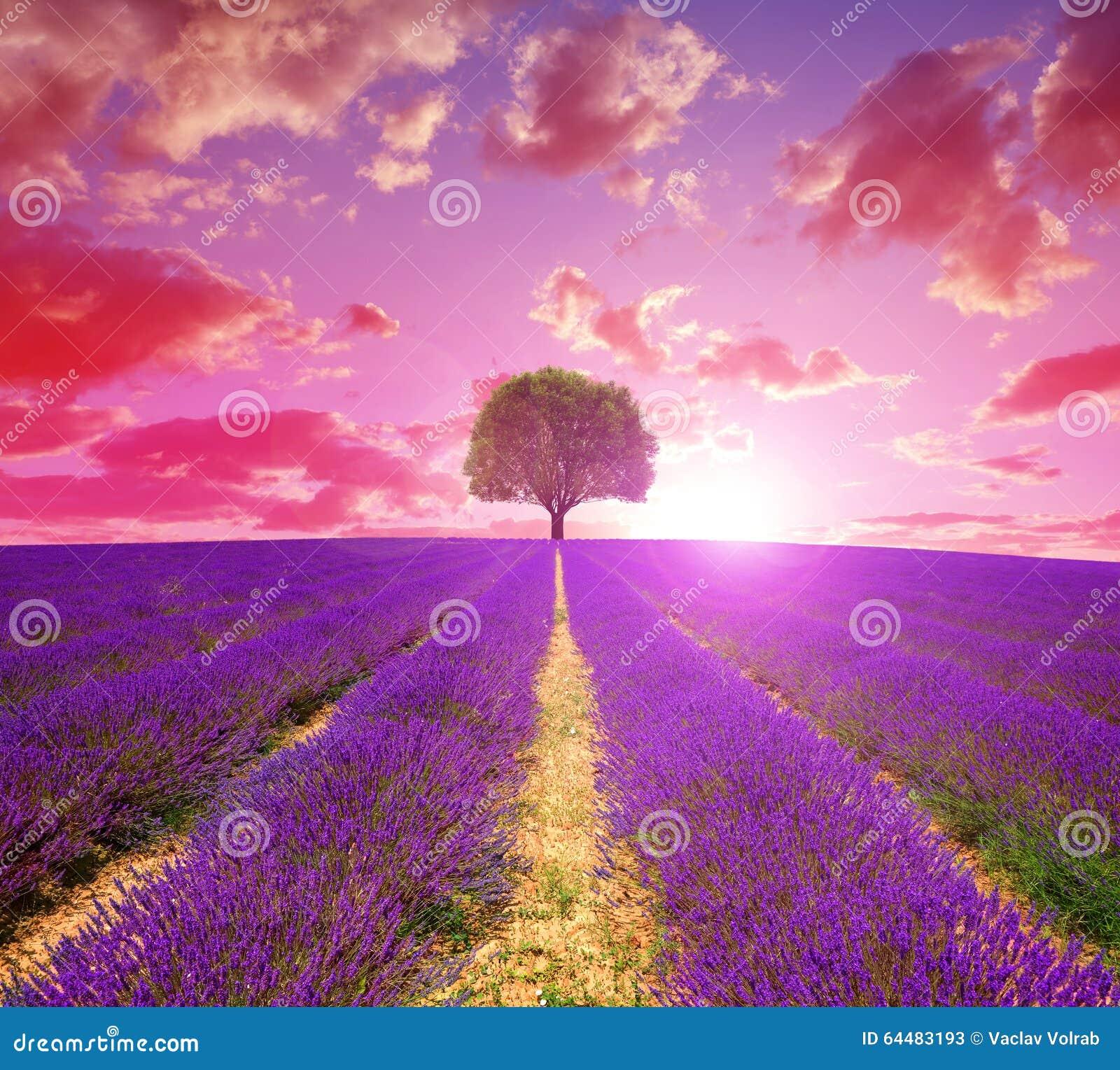 Lavendelfelder in provence bei sonnenuntergang stockfoto for Lavendelfelder provence