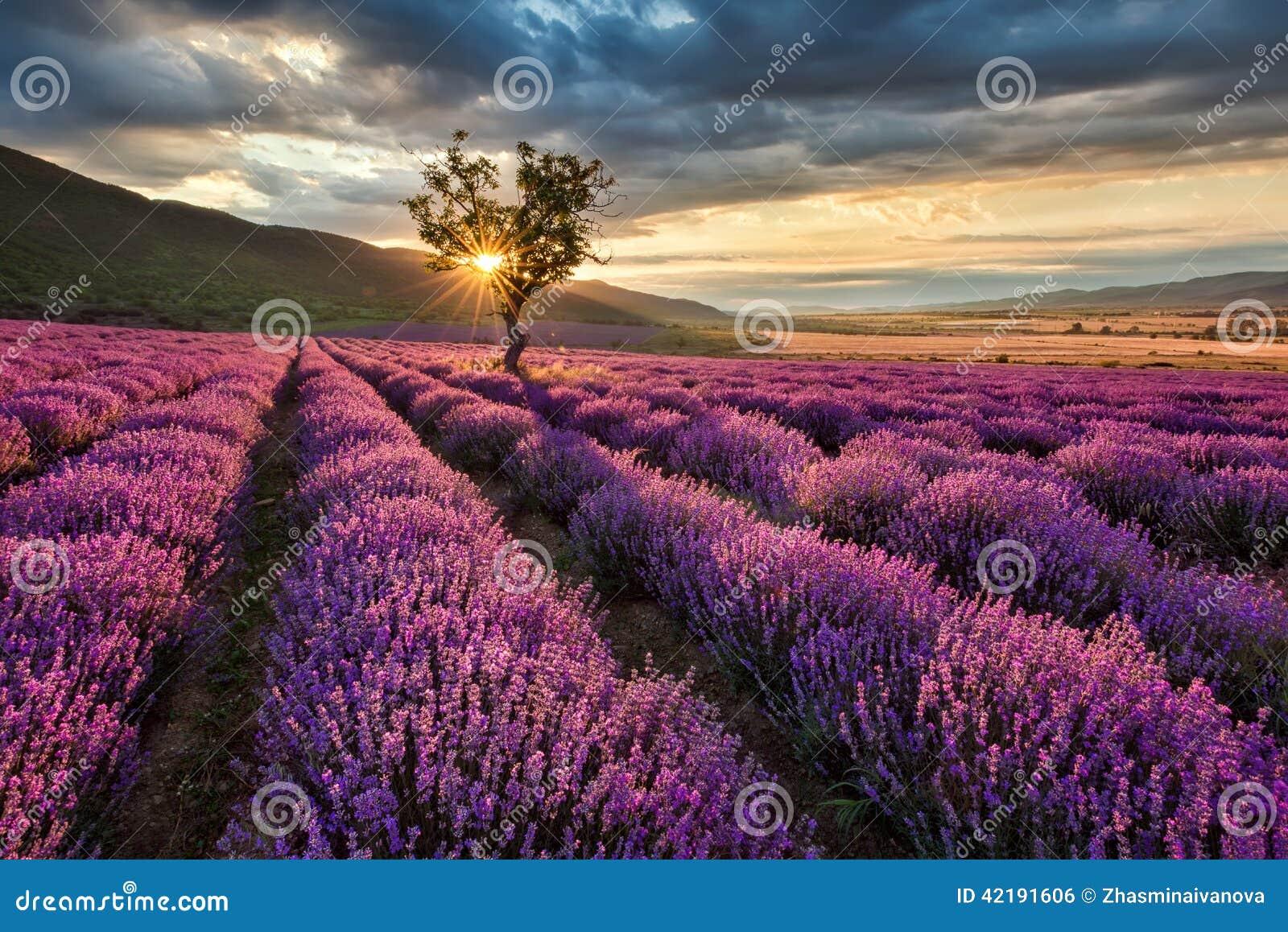 Lavendelgebied bij zonsopgang
