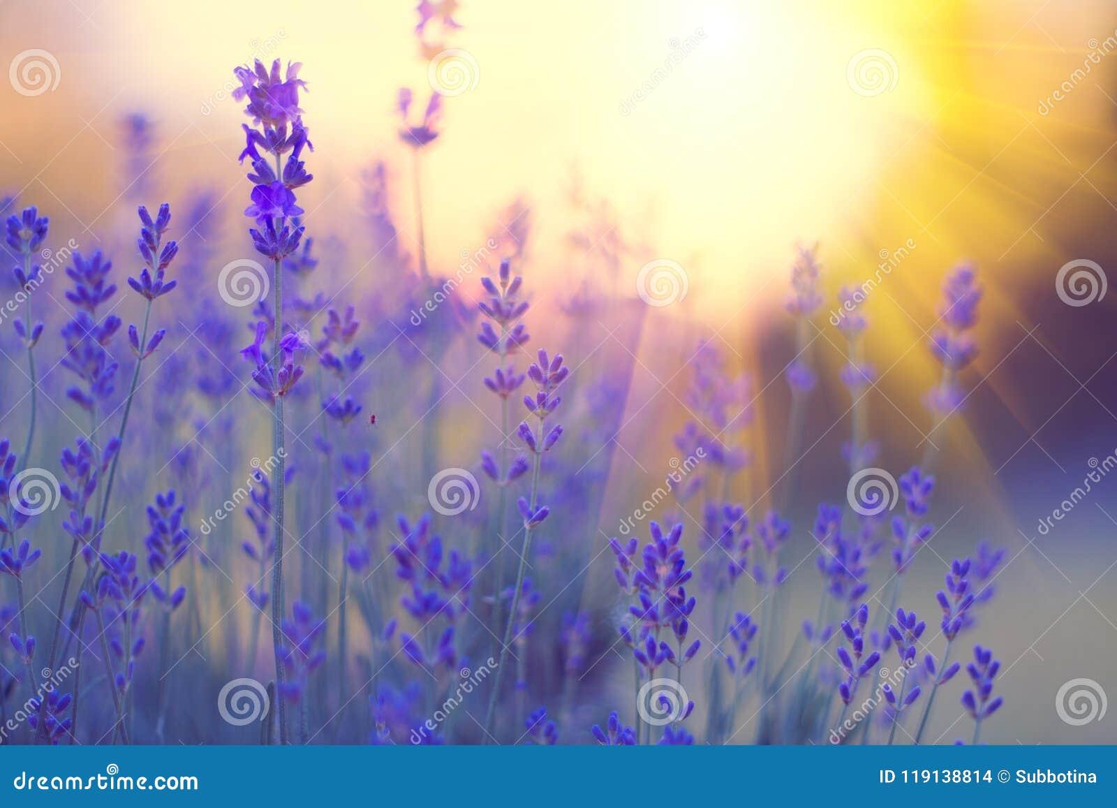 Lavendelgebied, Bloeiende violette geurige lavendelbloemen Het kweken van lavendel die op wind over zonsonderganghemel slingeren