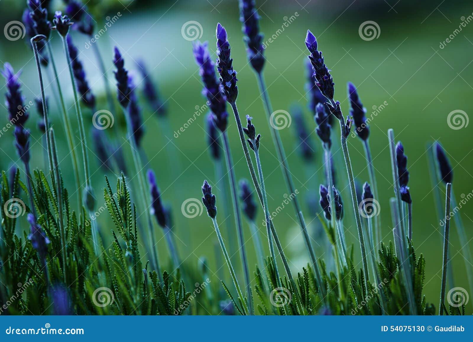 Lavendelgebied in de grote reserve