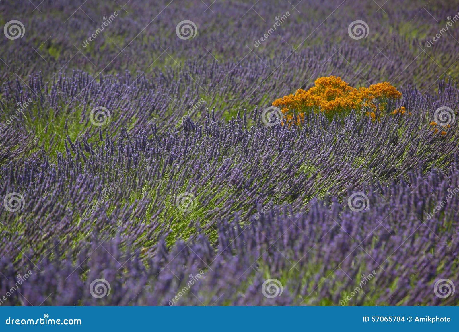 Lavendelgebieden