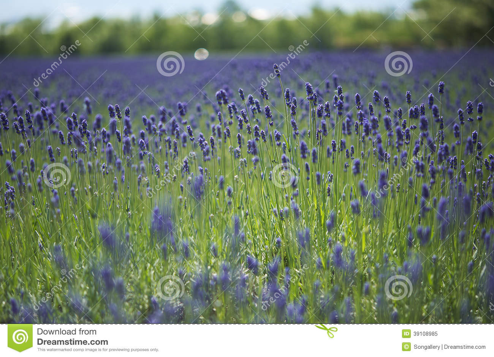 Lavendellandbouwbedrijf