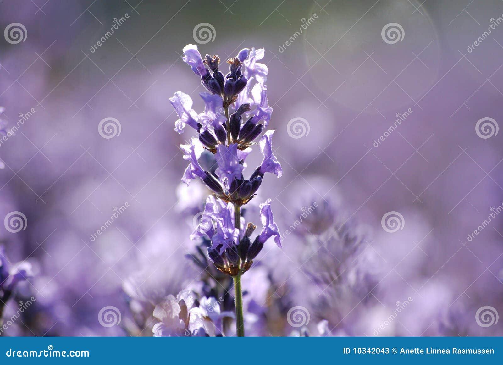 Lavender κήπων