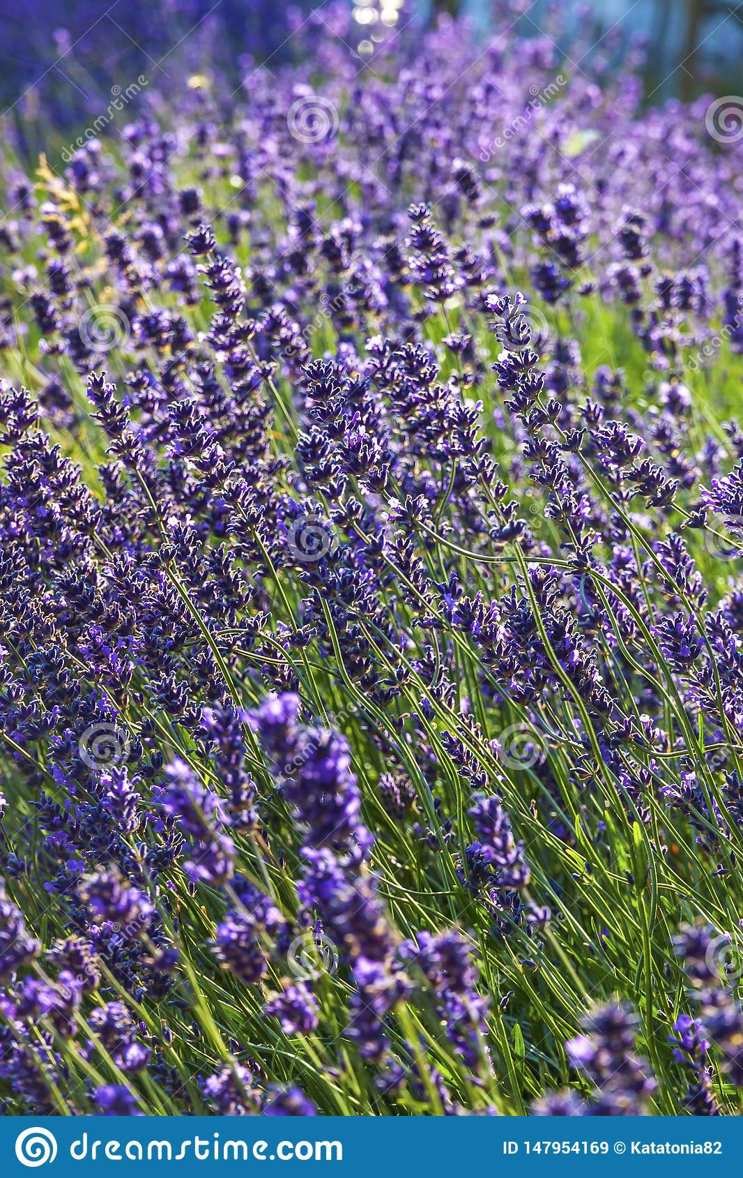 Lavender κινηματογραφήσεων σε πρώτο πλάνο θάμνοι στην ηλιόλουστη ημέρα