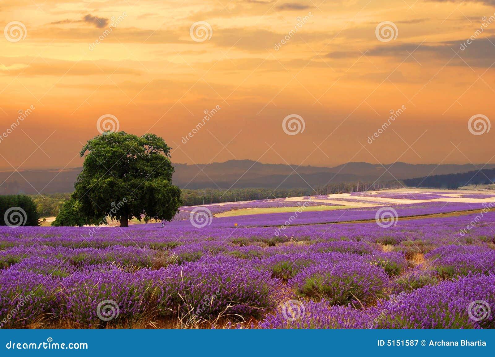 Lavender πεδίων ηλιοβασίλεμα