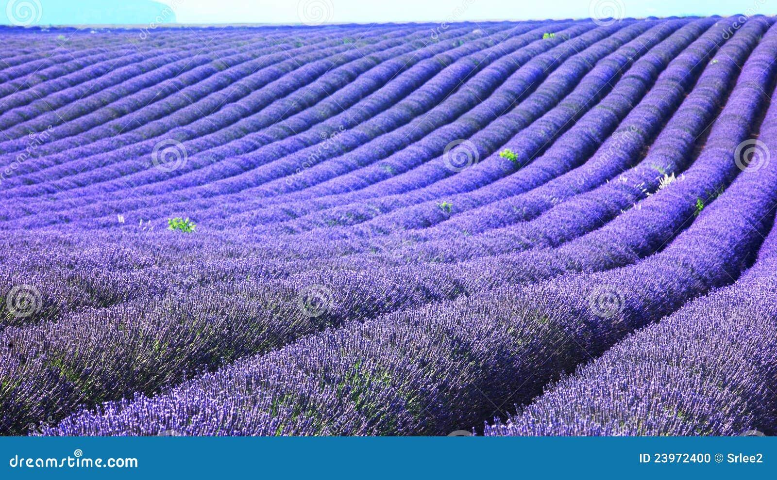 Lavender πεδίων