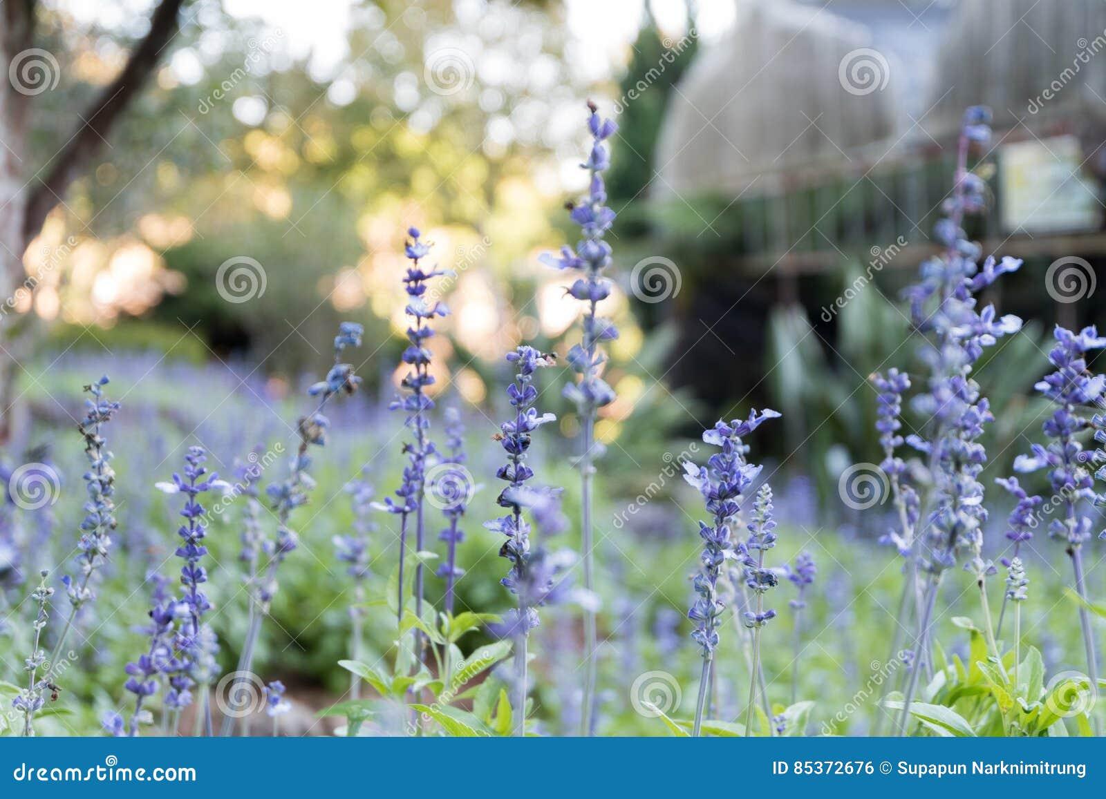 Lavender πορφυρός κήπος τομέων ανθών λουλουδιών όμορφος φυσικός ανασκόπησης