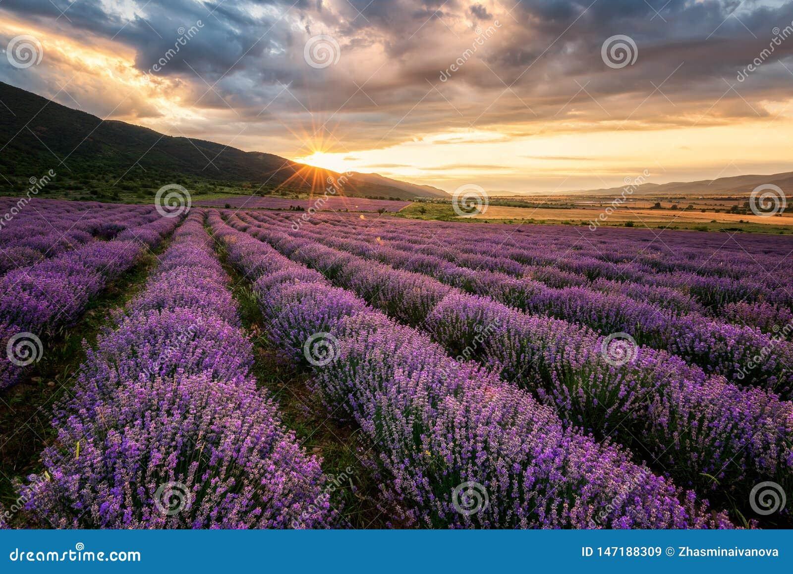 Lavender τομέας στην ανατολή