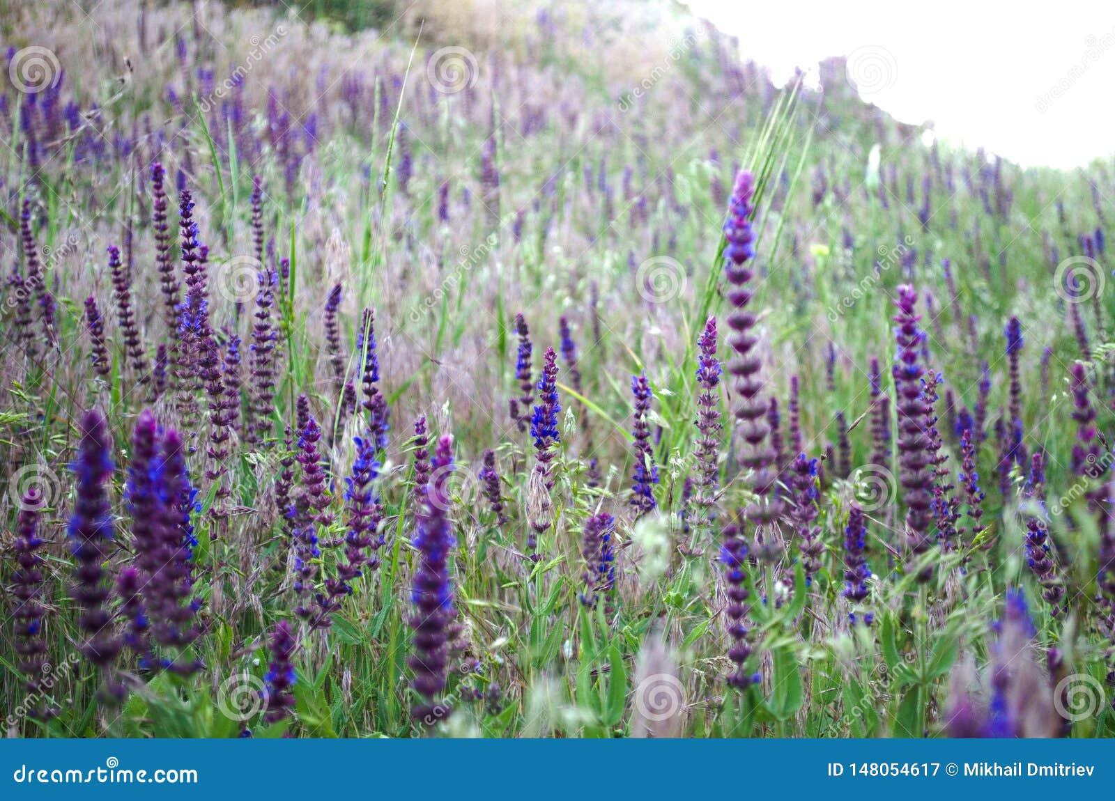 Lavender τομέας στις ακτίνες του θερινού θερμού ήλιου