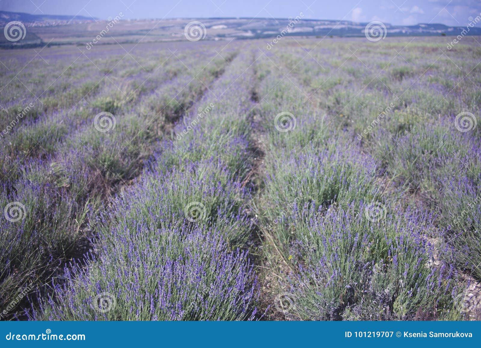Lavender flowers field. Crimea landscape