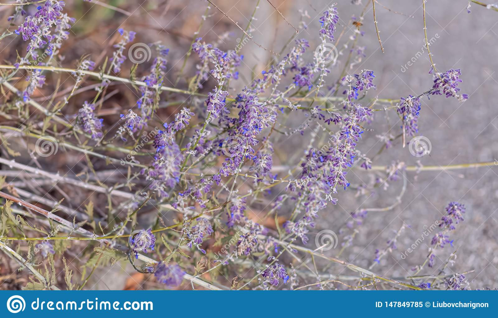 Lavender. Blooming purple lavender flowers and dry grass in the meadows or fields. Art photography.