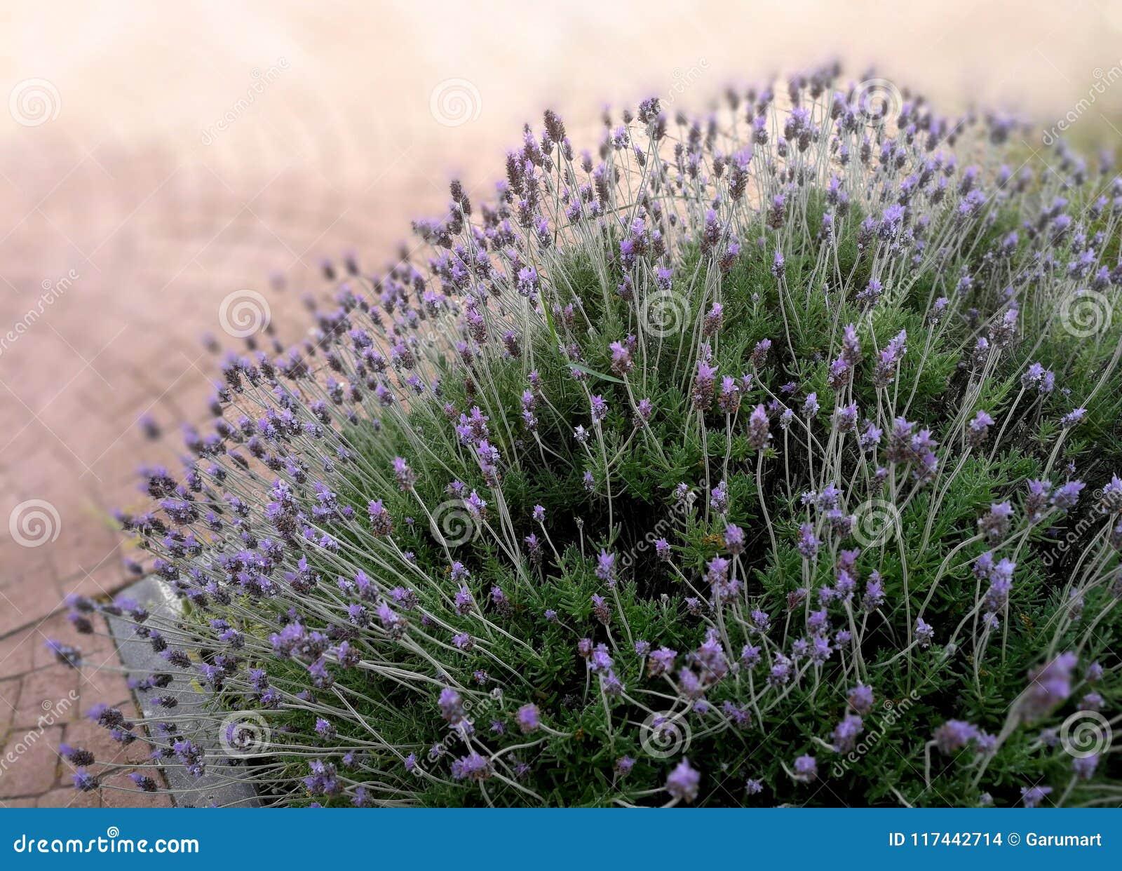 Lavender bush in public park