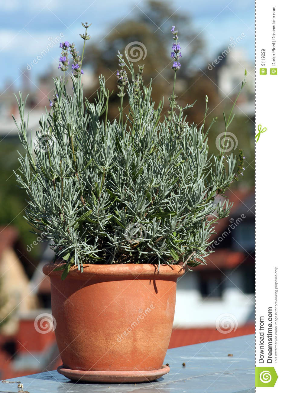 lavender in ceramic pot royalty free stock images image