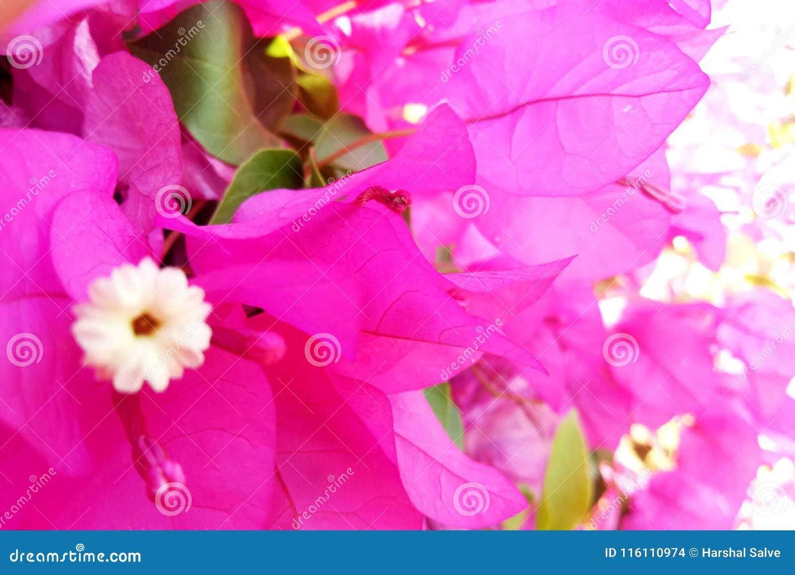 Lavender Color Petals in Garden