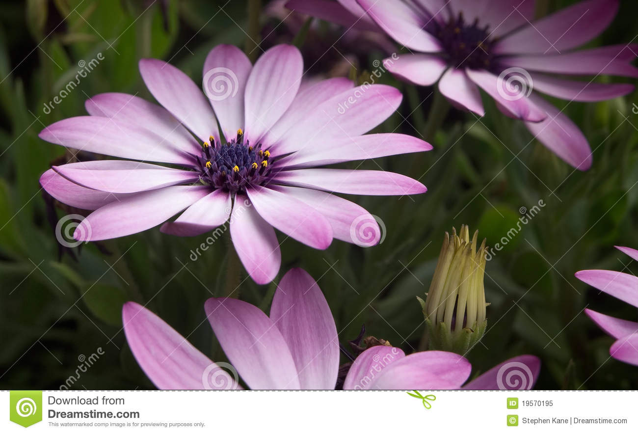 Lavender Colored Flowers Stock Image Image Of Spring