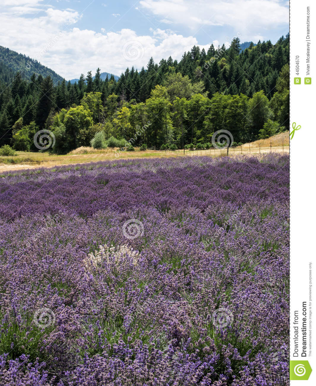 Lavender farm in bloom stock photo  Image of hill, ecosystem
