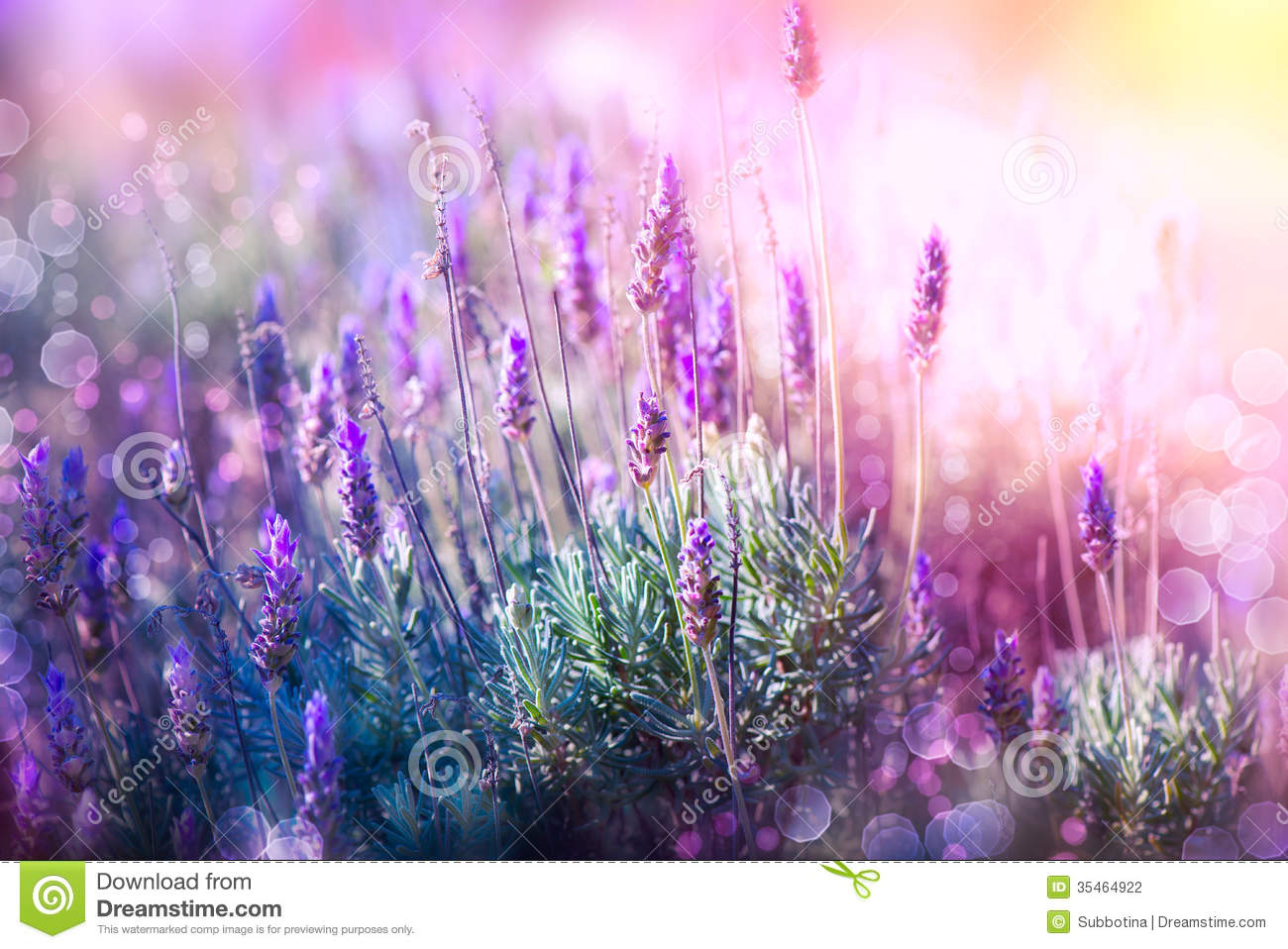 Lavender Stock Photography  Image 35464922