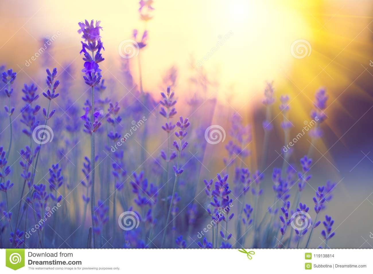 Download Lavender Field, Blooming Violet Fragrant Lavender Flowers. Growing Lavender Swaying On Wind Over Sunset Sky Stock Photo - Image of aroma, blooming: 119138814
