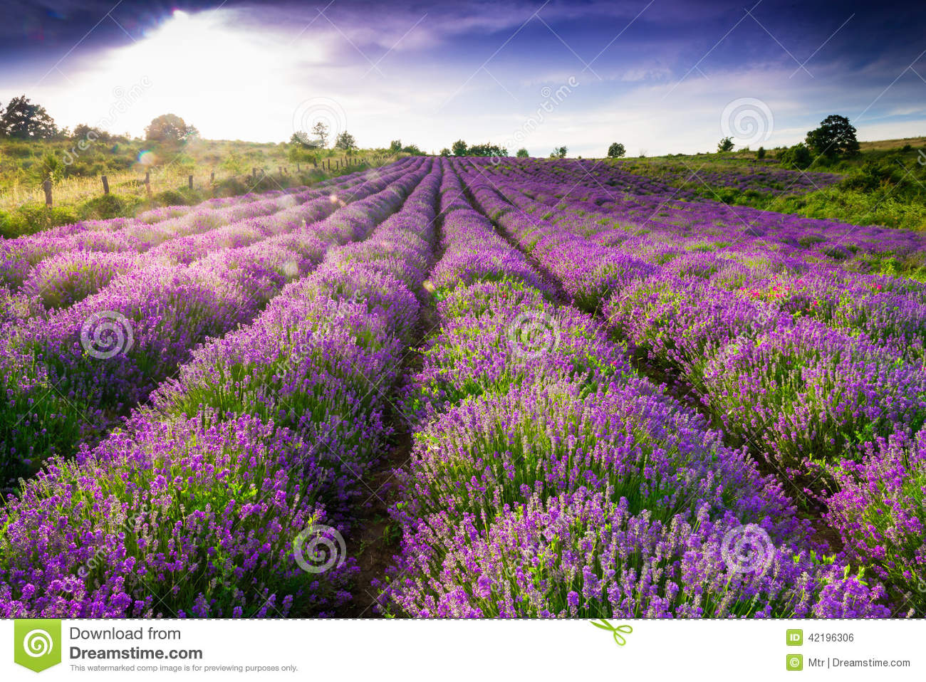 Lavender Field Stock Photo - Image: 42196306