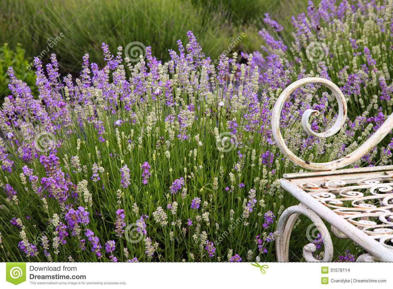 Lavender Field Flower Background Stock Photo Image Of