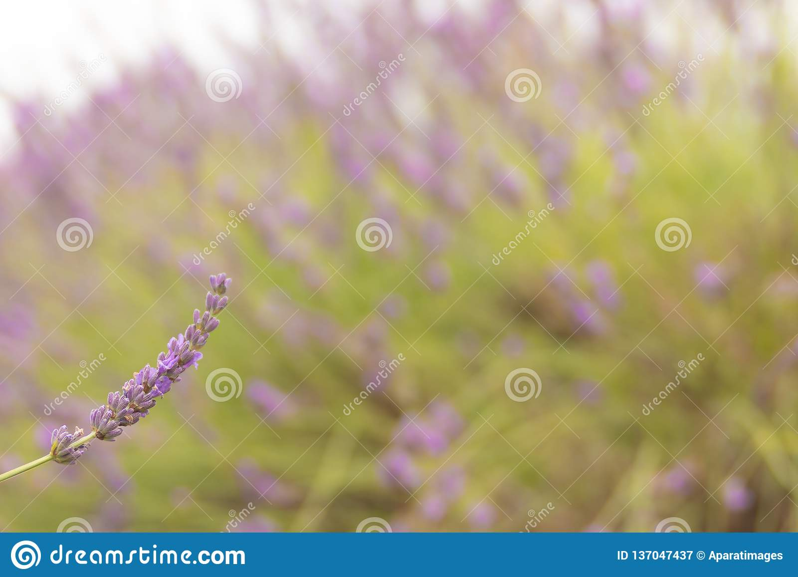 Lavender field with out of focus background