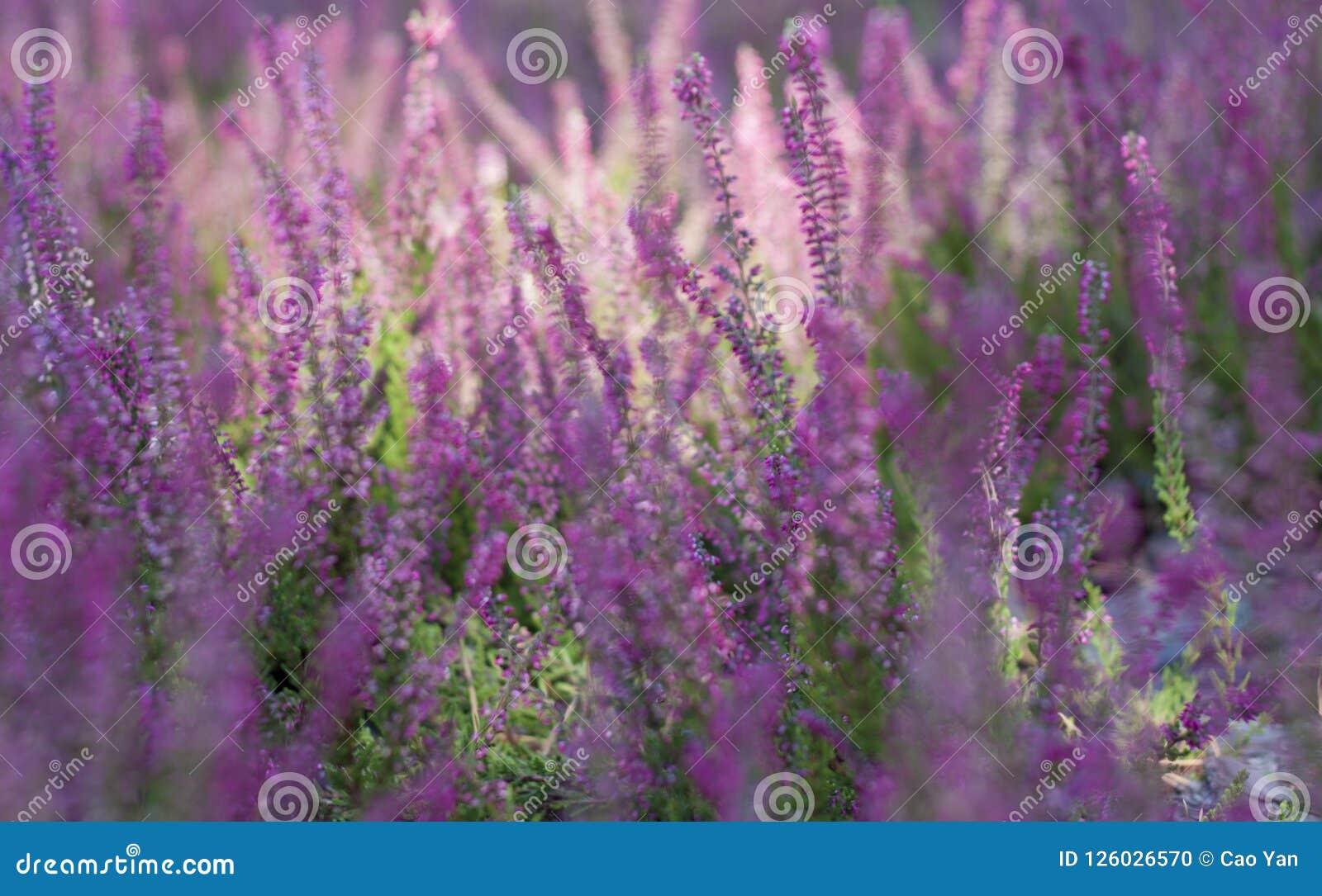 Flowering lavender field, beautiful landscape