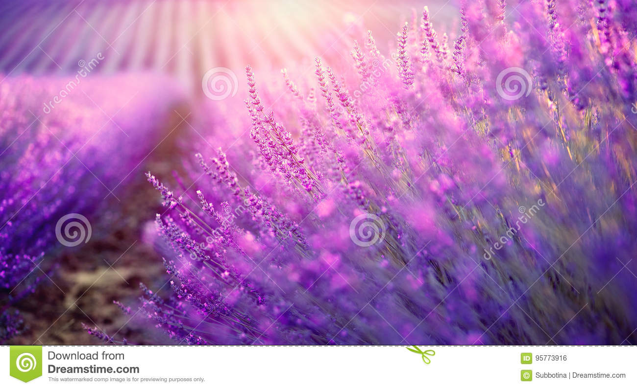 Lavender field in Provence, France. Blooming lavender