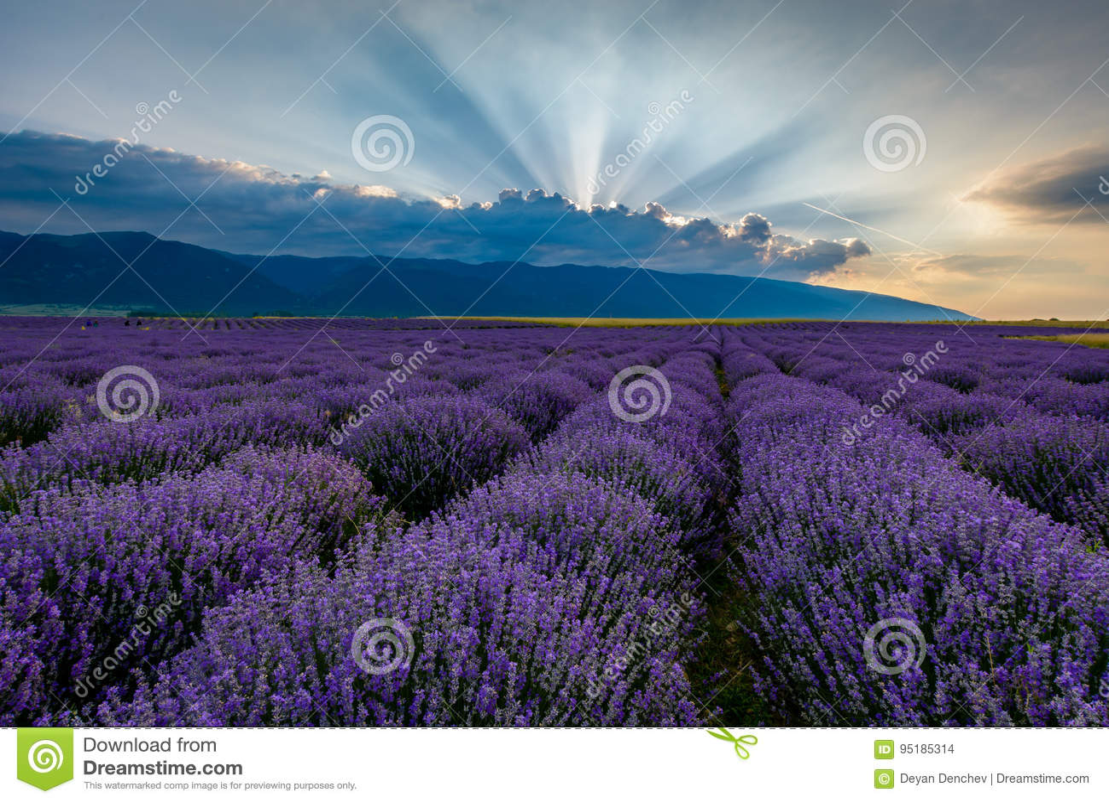 Lavender field at sunrise in Bulgaria