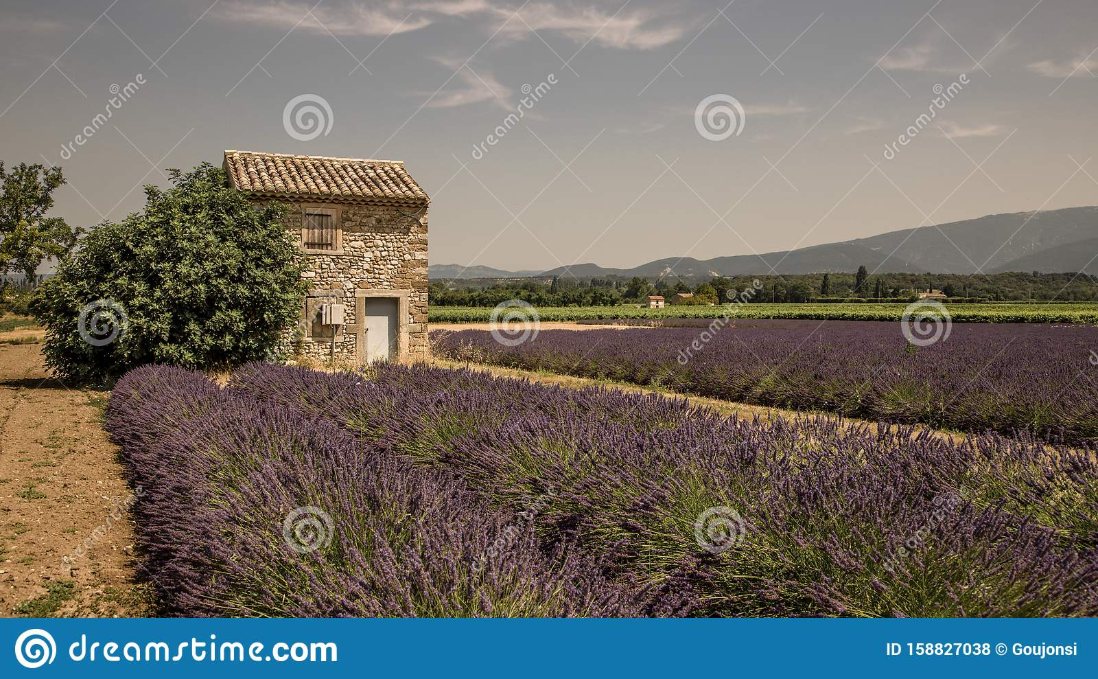 Provencal cottage in the middle of lavender fields