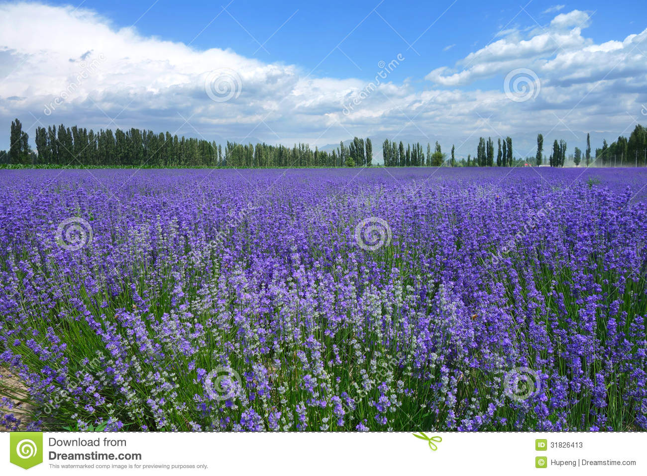 Download Lavender fields in summer stock image. Image of bloom - 31826413