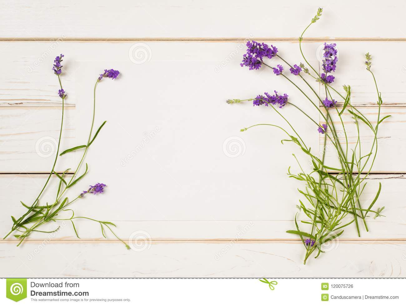 Lavender Flower Blossoms On Stems With Leaves As Borders Of White