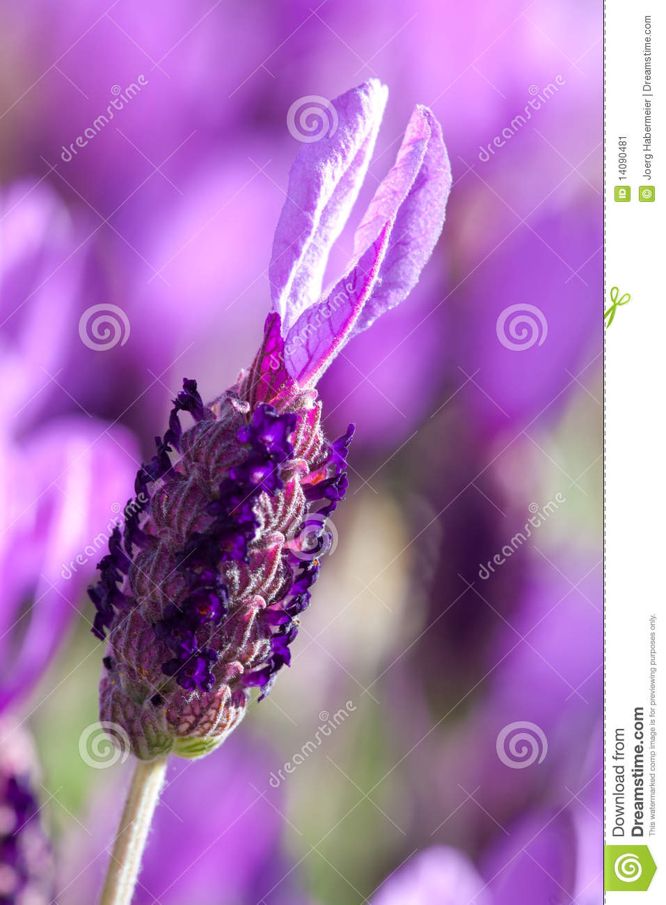 Stock Image  Lavender flower close up in gardenLavender Flower Close Up