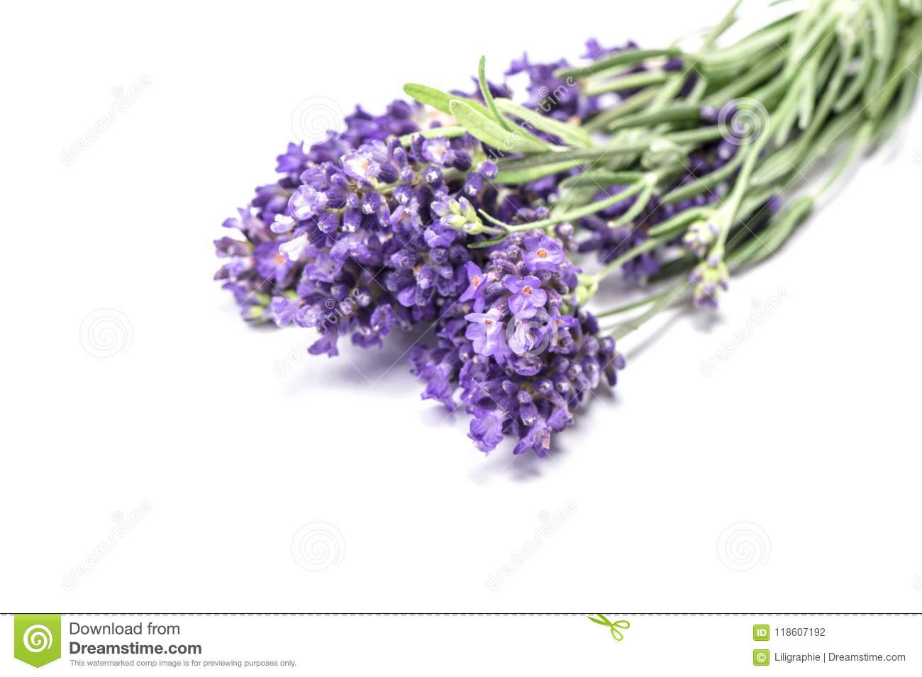 Lavender flower closeup isolated white background