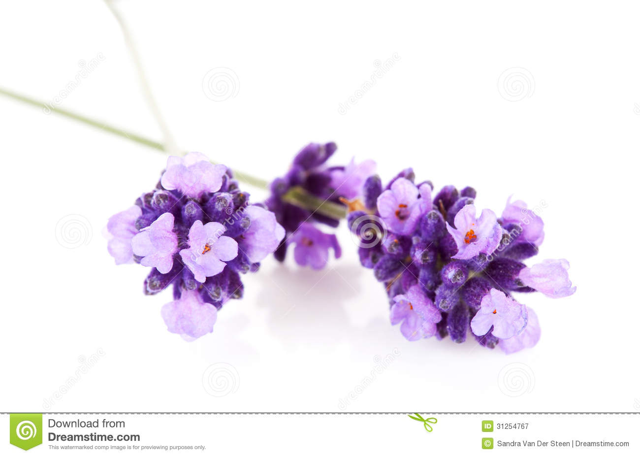 Lavender flower in closeup over white background Lavender Flower Close Up