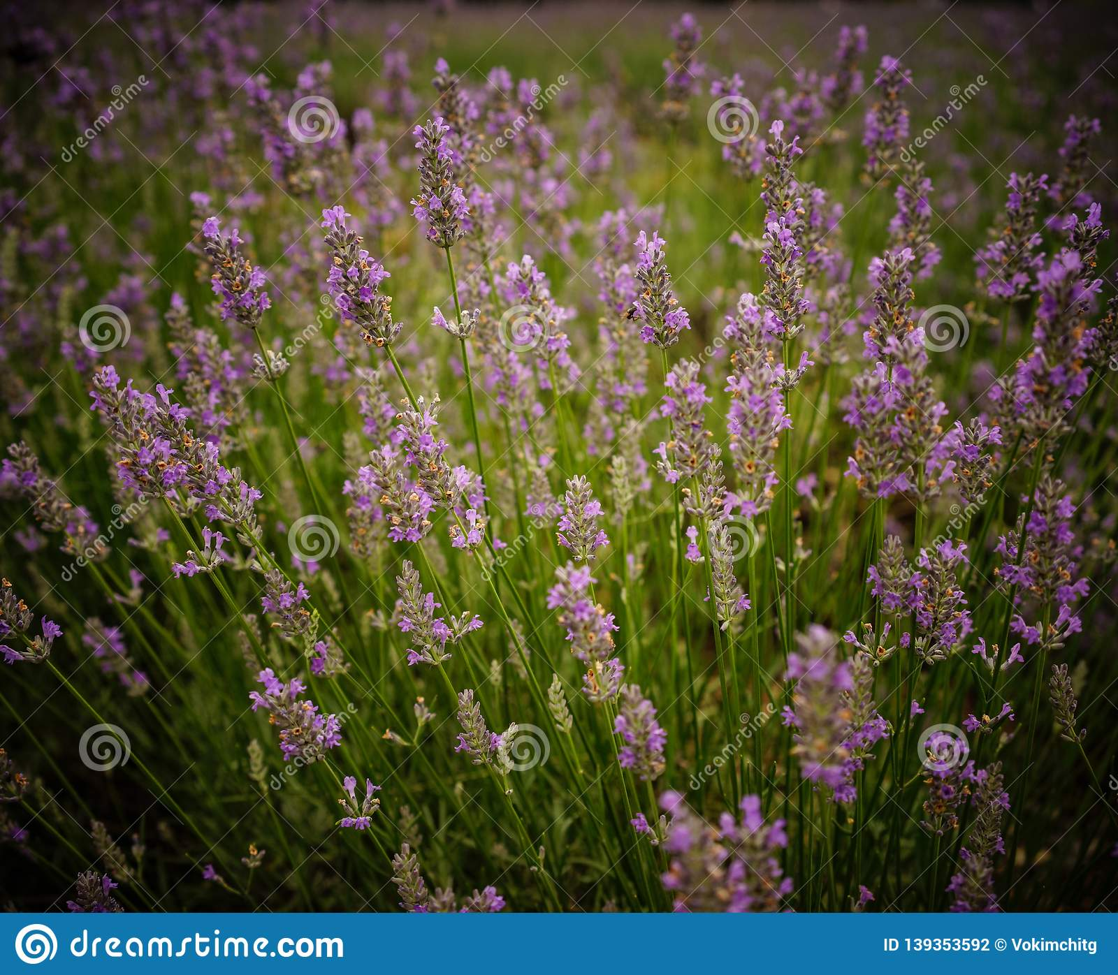 Lavender flower field in summer day